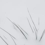 Ein weißes, querformatiges Schgneebild, in dem einzelne dunkle Gräser zu sehen sind.