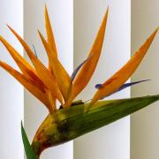 Die Blüte einer Strilitzie hebt sich von den weißen Lamellen eines Vorhangs ab.