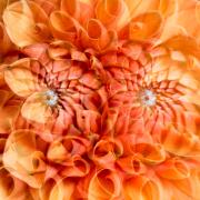 dopplet belichtete orangefarbene Dahlie; das Zentrum der Dahlie sieht wie ein Auge aus