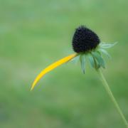 Vor grunem Hintergrund ragt eine abgeblühte Blume mit nur noch einem gelben Blütenblatt ins Bild.