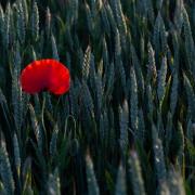 Ein Weizenfeld, aus dem eine einzelne Mohnblüte ragt, wird von der Abendsonne beschienen.