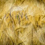Inmitten von einem Feld aus Weizenähren ragt eine Ähre von Hafer empor.