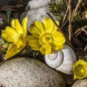 Das Foto im Querformat zeigt gelbe Adonisröschen, die zwischen Steinen und Schneckengehäusen blühen.
