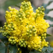 Auf dem Foto im Querformat ist die gelbe Blüte einer Mahonie zu sehen.